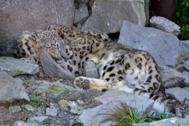 One Snow Leopard or Two?