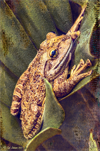 Image of Frog using Topaz Clarity and ReStyle