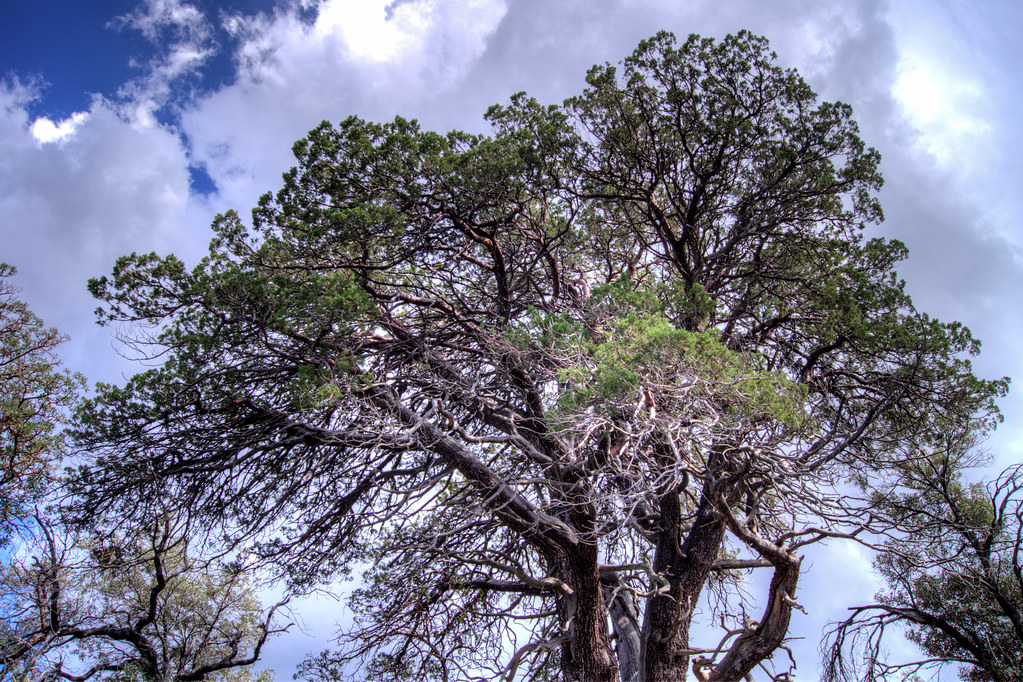 1309 Keebler Tree