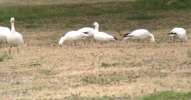 73. Ross's Geese - Delaware - IMG_4096