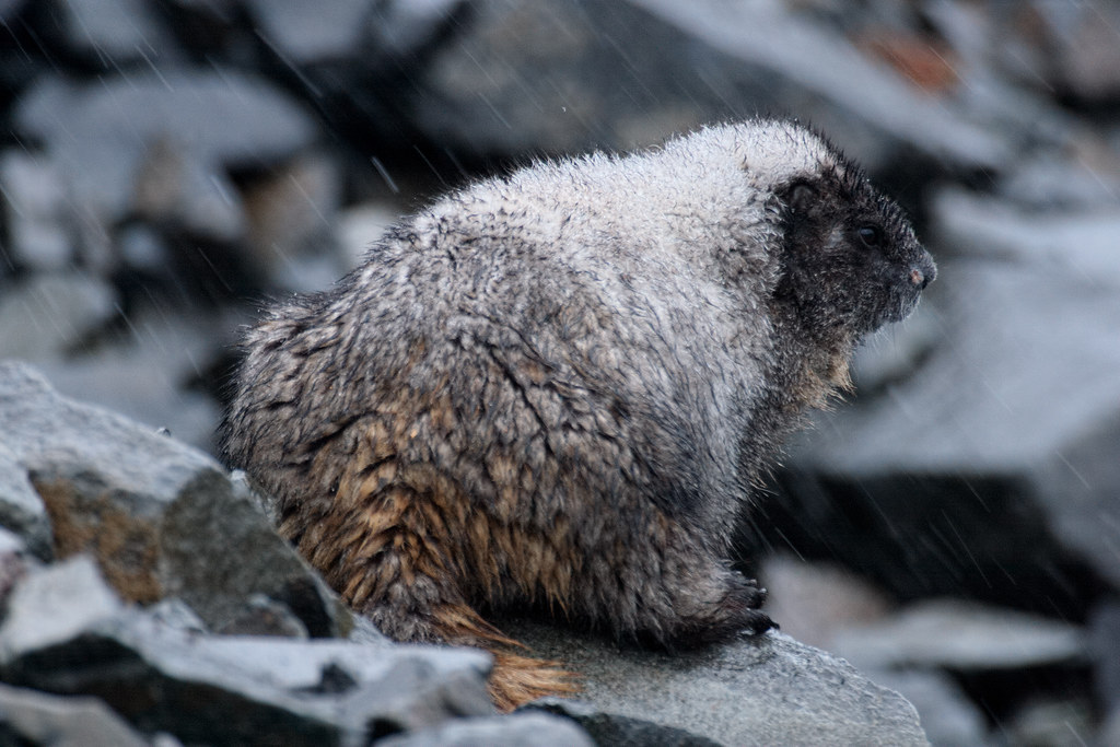 A hoary marmot sits in the driving rain beside the Sourdough Ridge Trail in the Sunrise section of Mount Rainier National Park