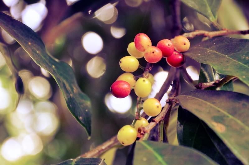 Bugnay Berries