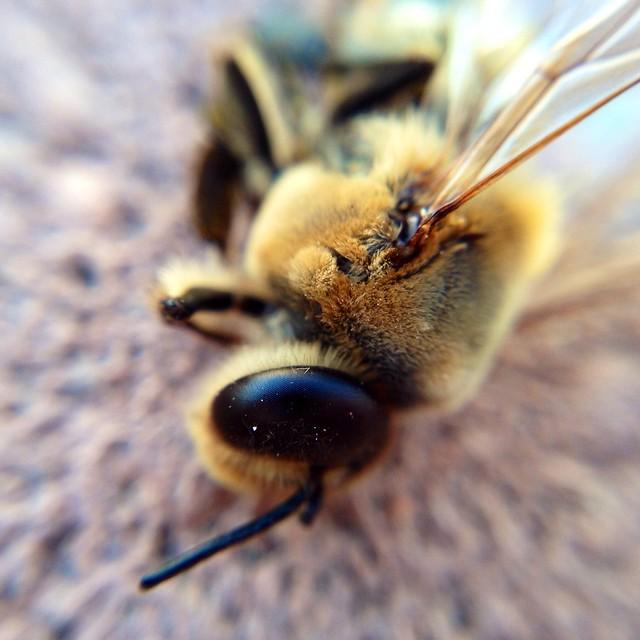 Macro Bee - 1