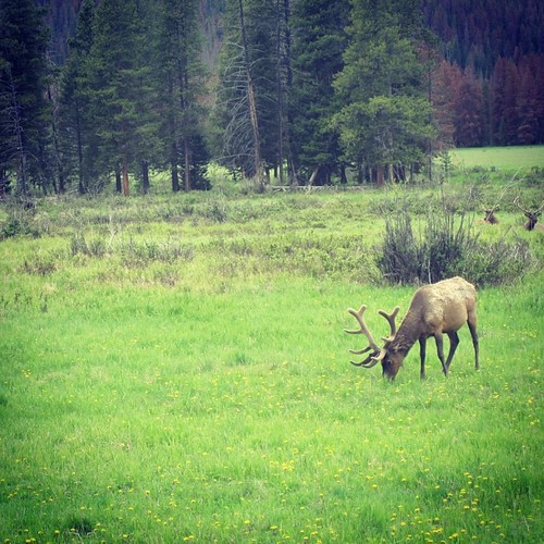 Elk #rockymountains #colorado by @MySoDotCom