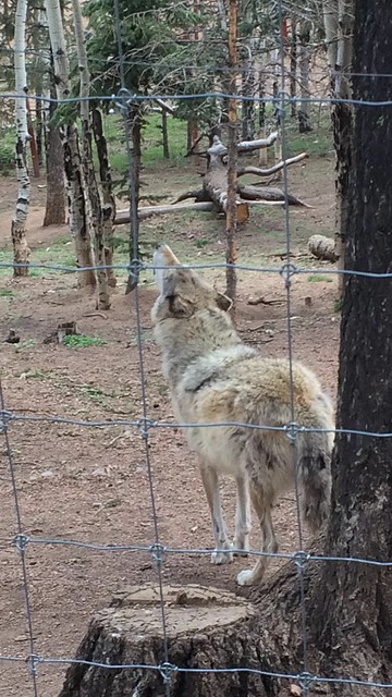 Picture from Colorado Wolf & Wildlife Center