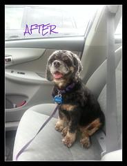 Bella after haircut