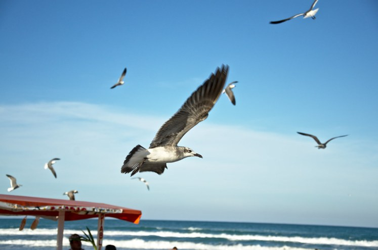 Seagull flight