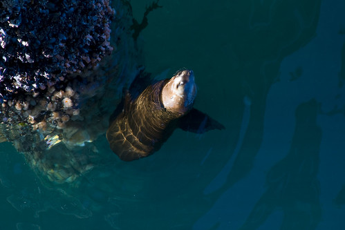 Sea Lion by La Muelle