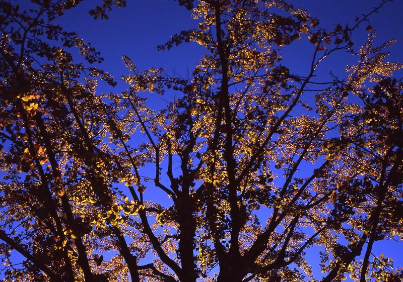 紅葉[yellow leaves]