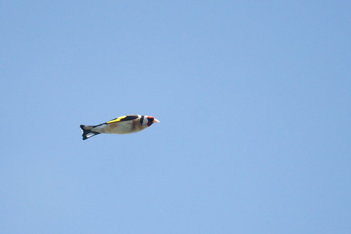Goldfinch (Carduelis carduelis) in flight
