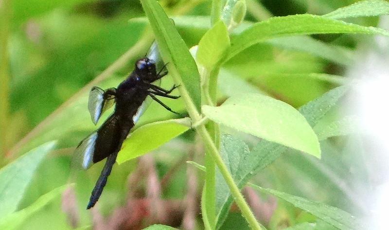 DSC03665 drgnfly  busch 200713