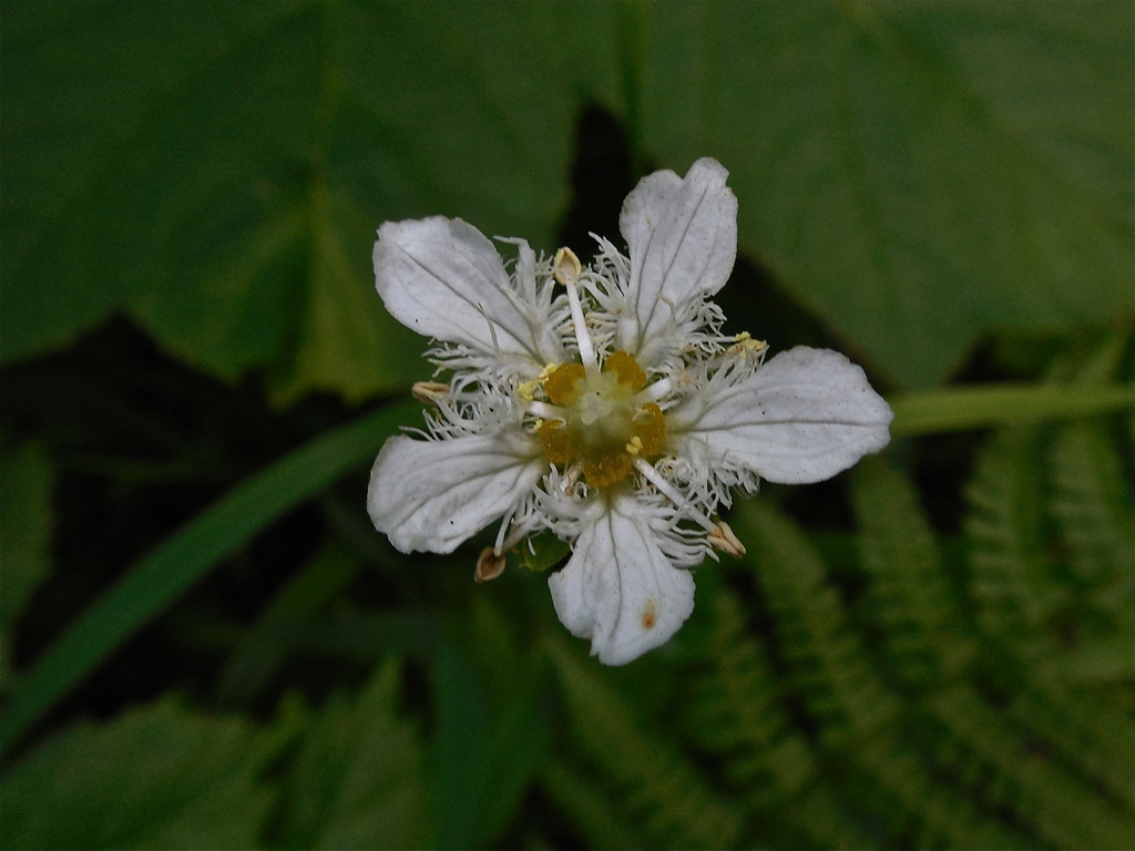 Fringed grass-of-Parnassus