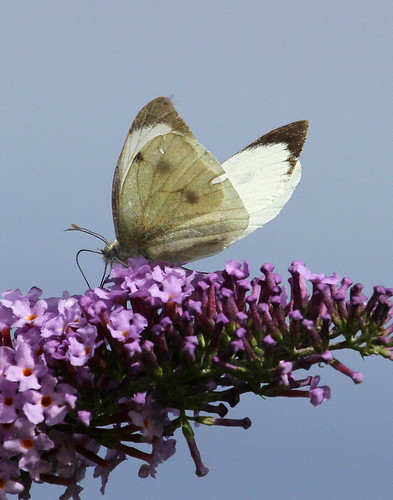 Large White (Pieris brassicae) on a flower