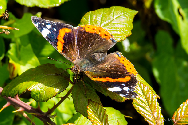 Red Admiral sunning itself