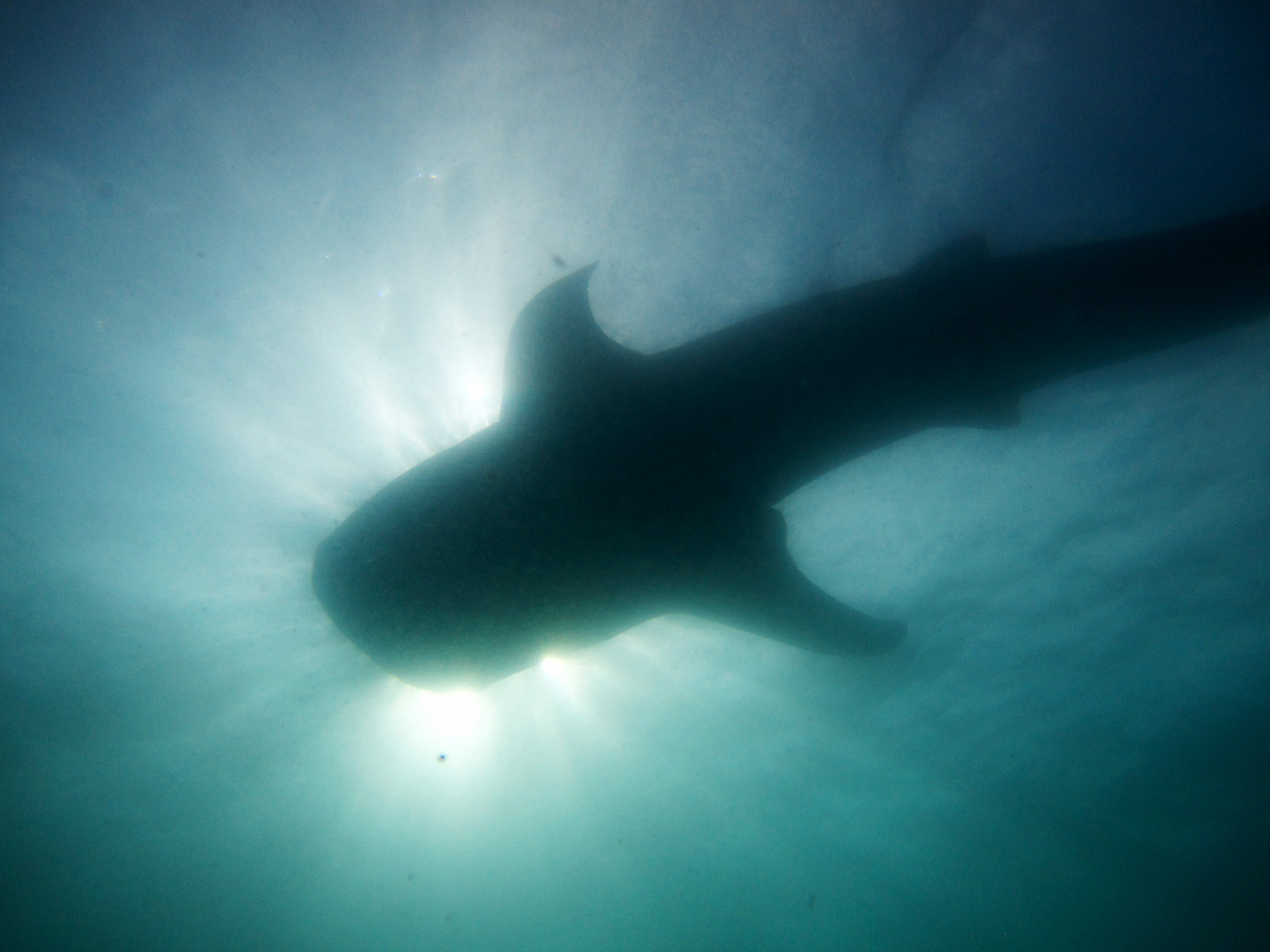 Whale Shark silhouette, Oslob, Philippines.