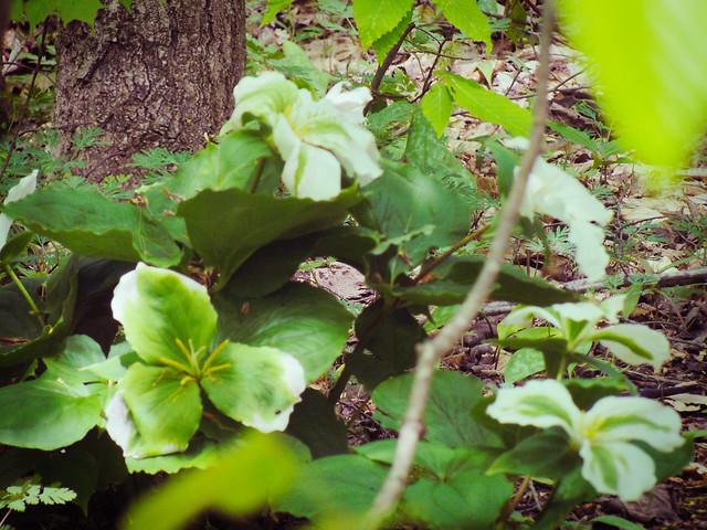 Green Trillium