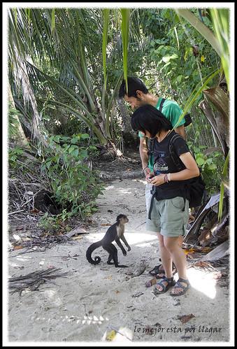 mono cariblanca parque nacional cahuita, costa rica