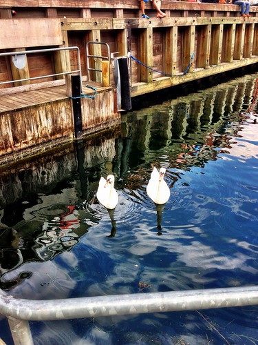 Swans resting at Nyhavn by SpatzMe