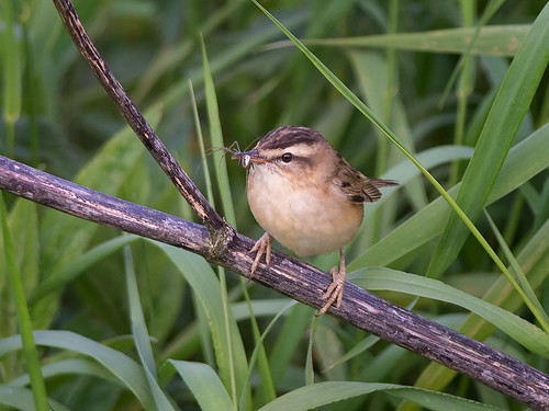 Sedge warbler with spider