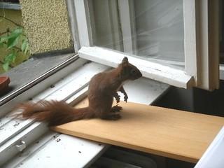 Eichhörnchen zähmen 11