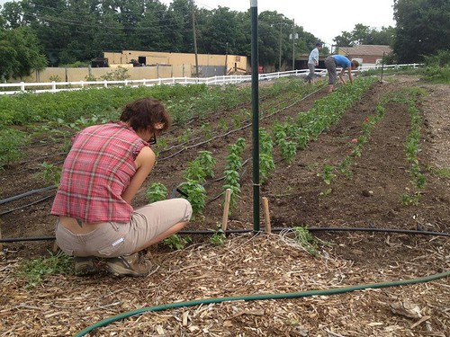 20130625. Laying drip tape at South Circle Farm.
