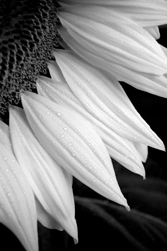 Dawn Sunflower 1