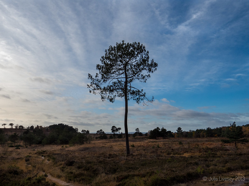 Scots pine with a great sky