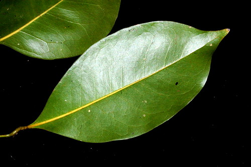Endiandra impressicosta DSC_0227 (1)