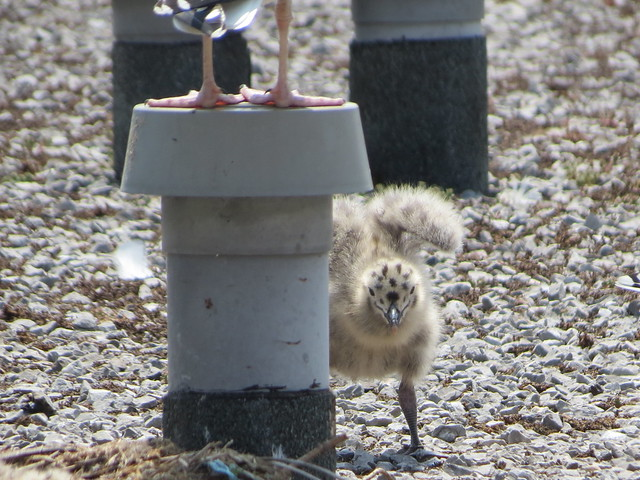 Baby seagulls on the roof