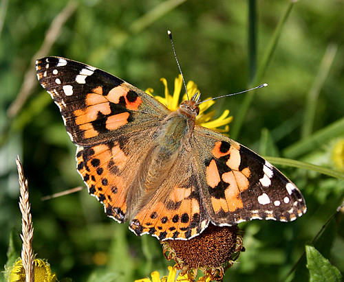 Painted Lady Vanessa cardui Tophill Low NR, East Yorkshire August 2013