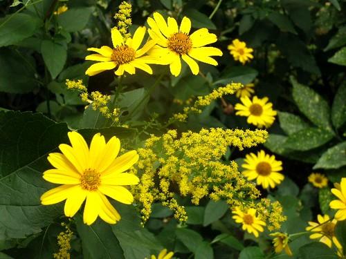Goldruten und Staudensonnenblumen 2