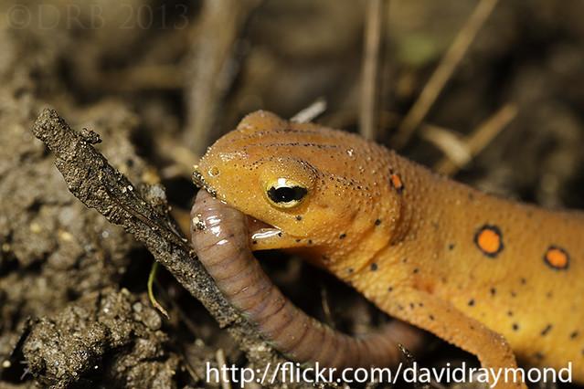 Salamander eating