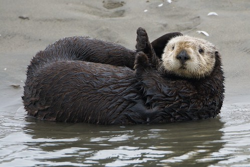 A plump Sea Otter lying on its back at the water's edge.