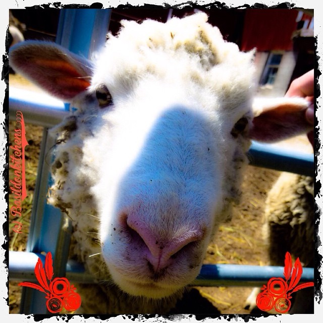 Dec 18 - big {big nosey sheep} #fmsphotoaday #sheep #big #nose #baaaaaa #princeedwardcounty #rhonnadesigns