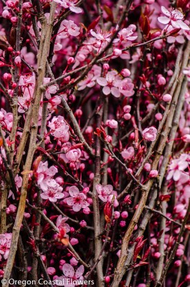 prunus branches