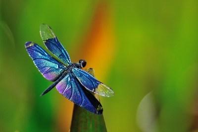 Blue Dragonfly     チョウトンボ