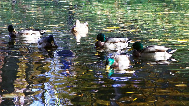 wild ducks. Striyskiy park, Lviv, Ukraine