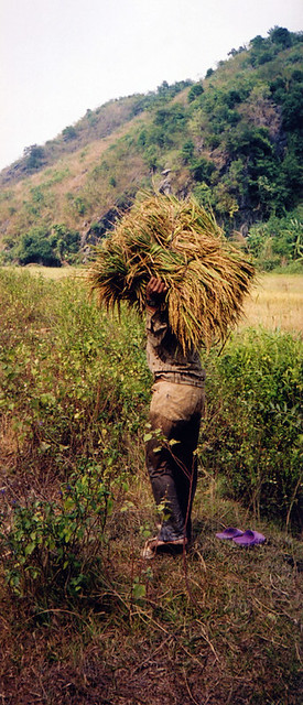 rice gatherer on our hike in Cat Ba