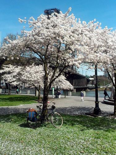 Cherry Tree bloom at Waterfront Park avec Raleigh Wayfarer. by urbanadventureleaguepdx