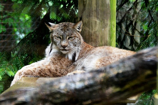 Lynx in the Rain