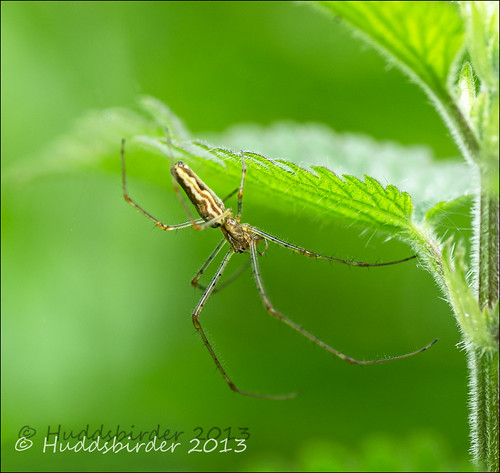 Long legged Spider
