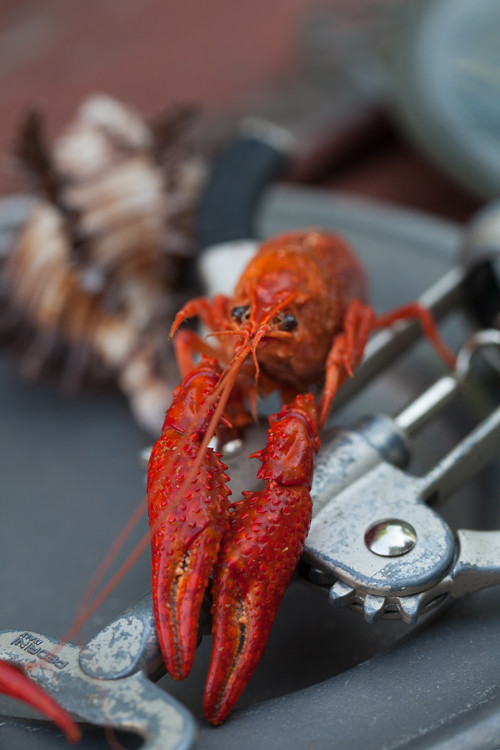 Crawfish 8