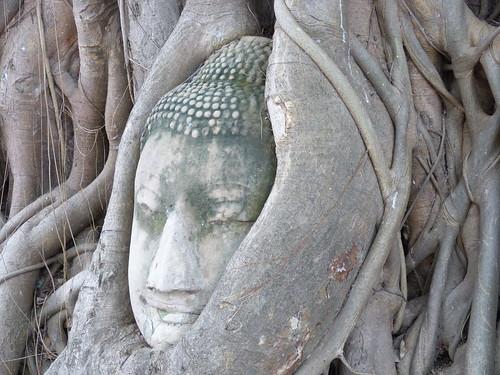 Head in tree Wat Maha That