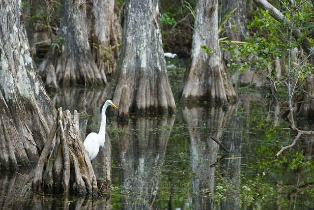 great egret 0000 Big Cypress Preserve, Florida, USA