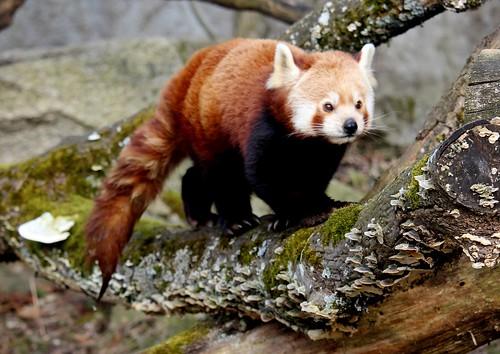 Kleiner roter Pandabär