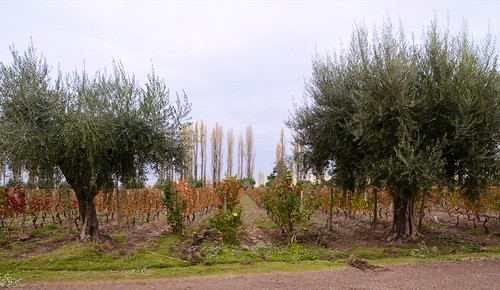 Vines and olive trees at Achaval Ferrer