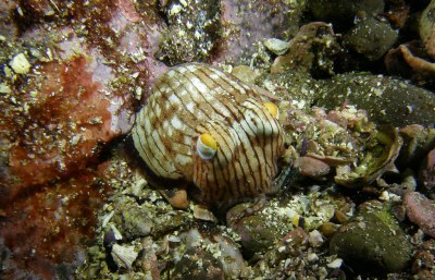 Striped Pyjama Squid - Sepioloidea lineolata