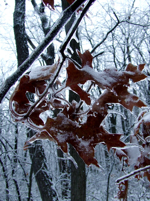 marcescent red oak leaves under ice 2