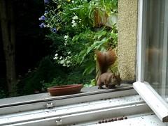 Eichhörnchen 1.2