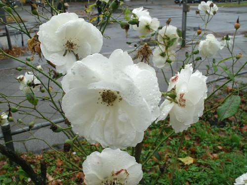 Weiße Rose 1